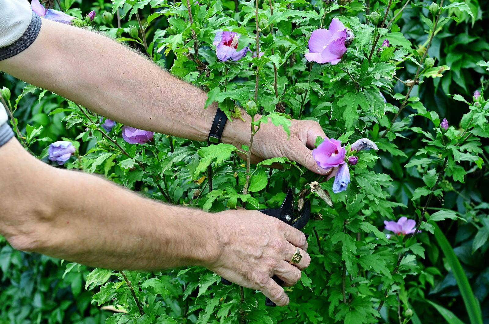 Sehr Hibiskus-Hecke: Tipps zu Sortenwahl, Pflanzung & Pflege - Plantura OS36