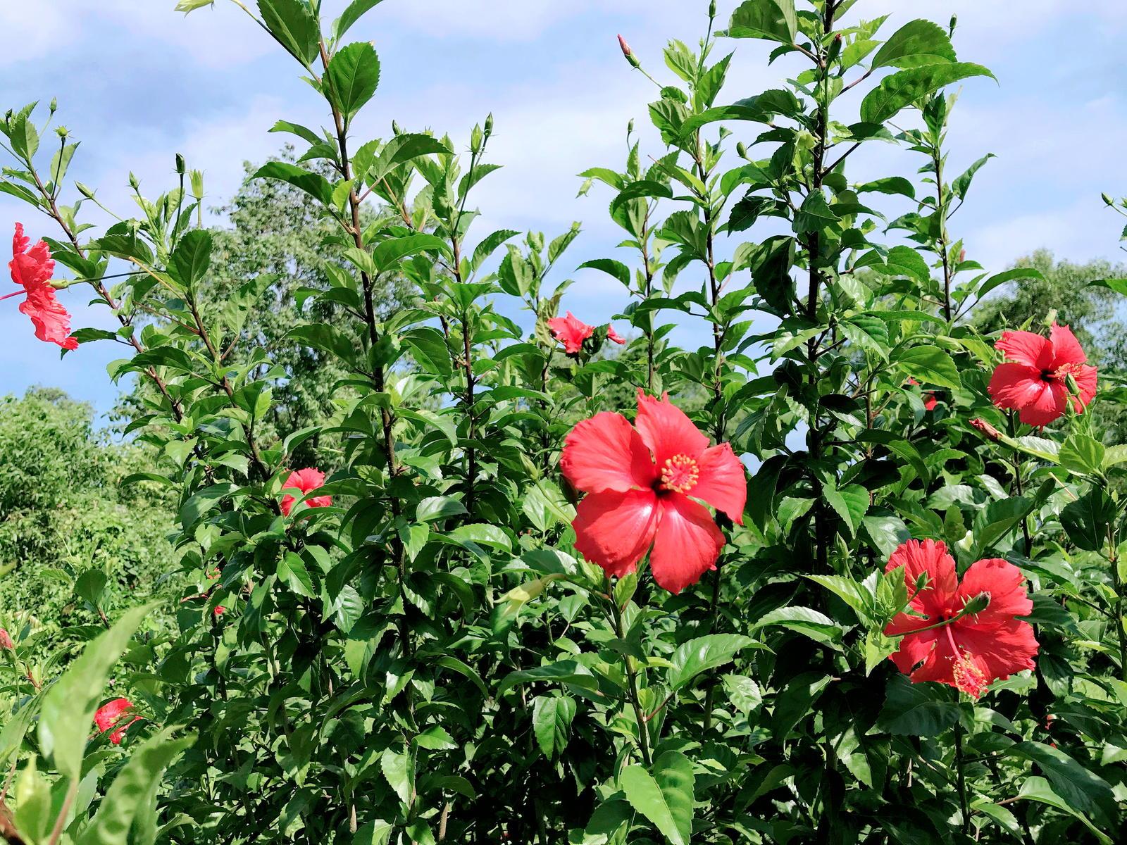 Atemberaubend Hibiskus: Alle Tipps für die perfekte Blüte - Plantura @SD_62