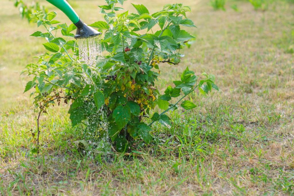 Himbeerstrauch im Garten wird gegossen