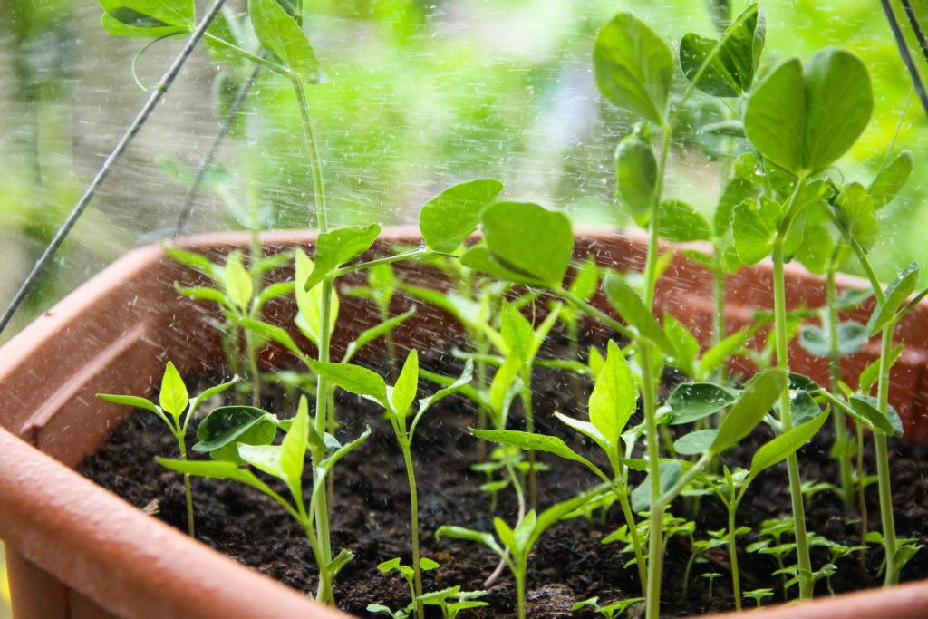 Erdnusspflanzen im Topf