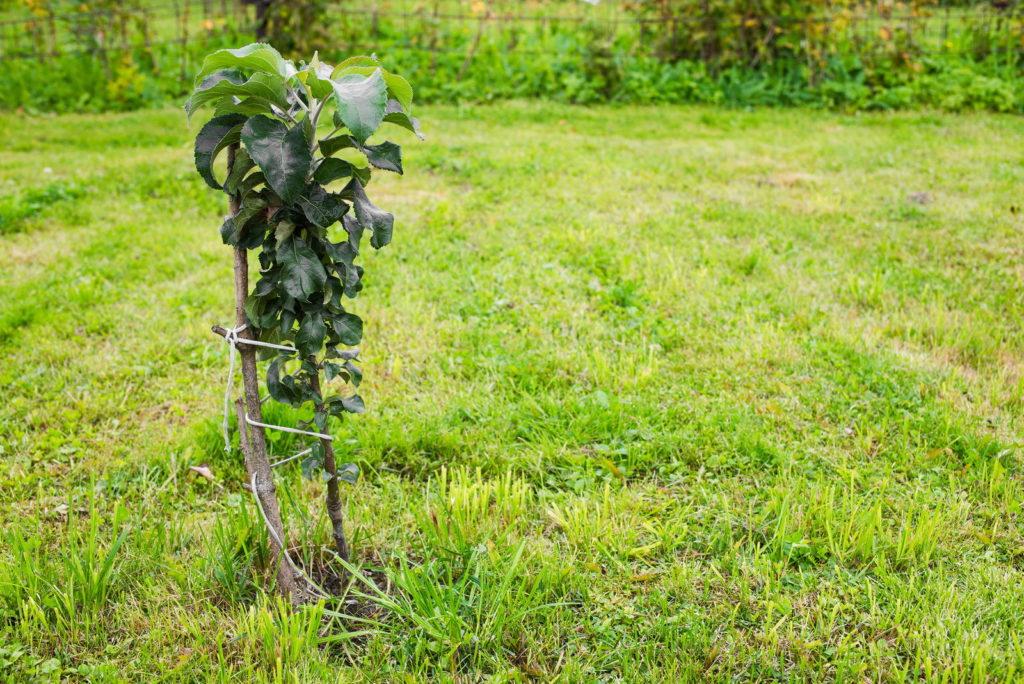 Junger Säulenapfel im Garten