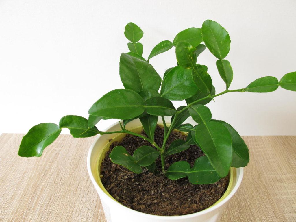 Kaffirlimetten-Baum im Blumentopf
