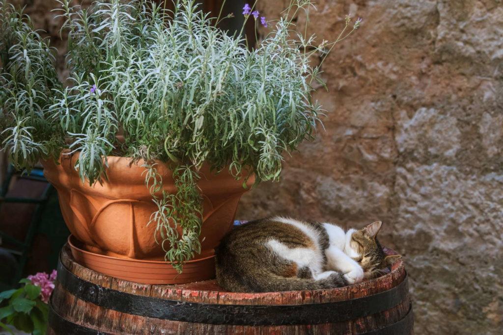 Katze schläft neben Lavendel im Topf