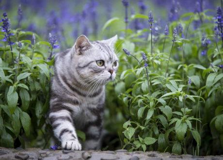 Katze Zwischen Lavendel