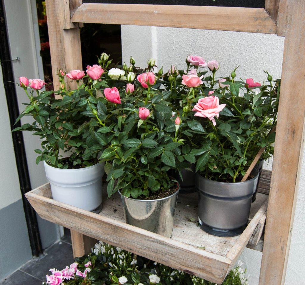 Rosen in einer Gärtnerei