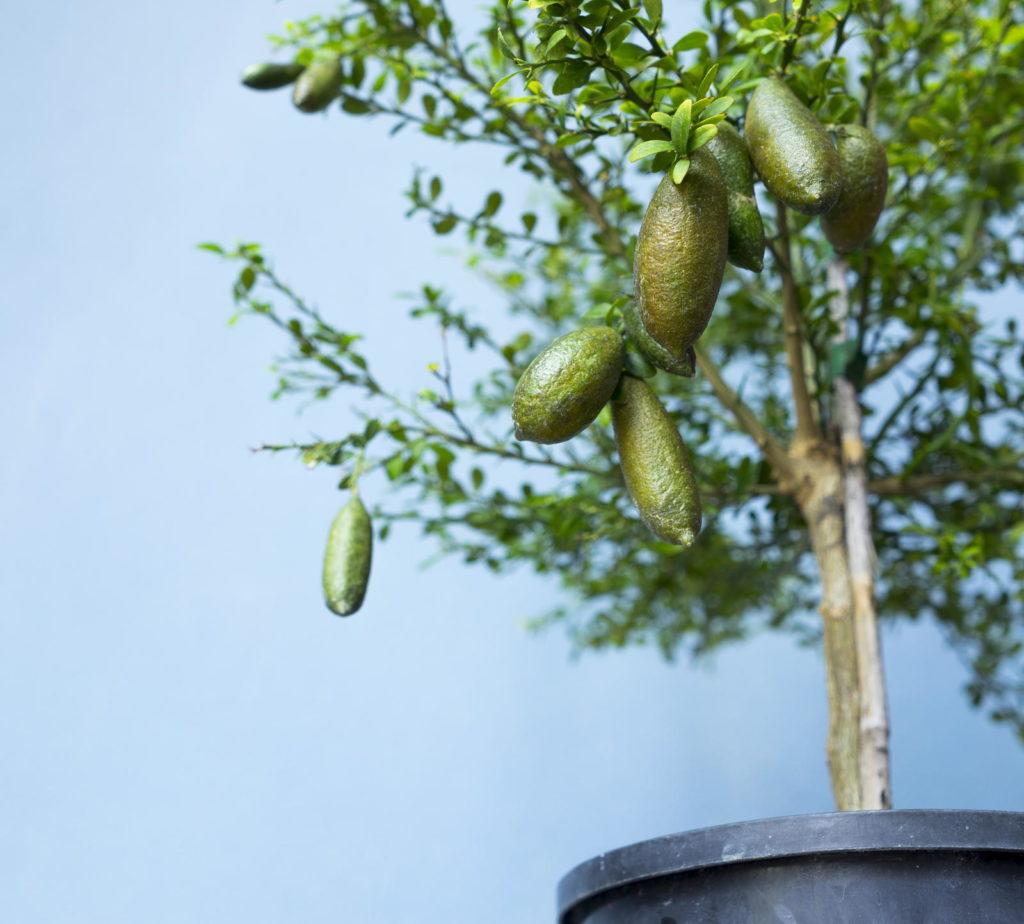 Kaviarlimettenbaum im Topf