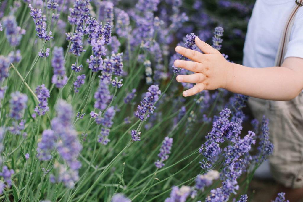 Kinderhand an Lavendel
