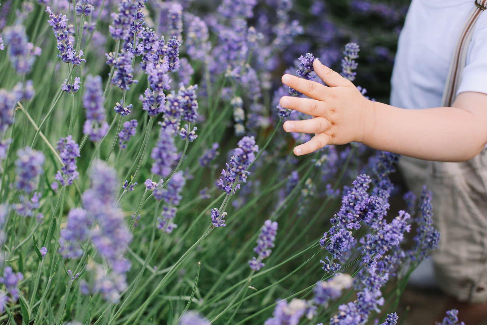Lavendel: Giftig oder essbar? - Plantura