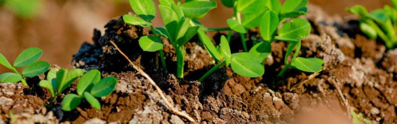 Erdnusspflanze