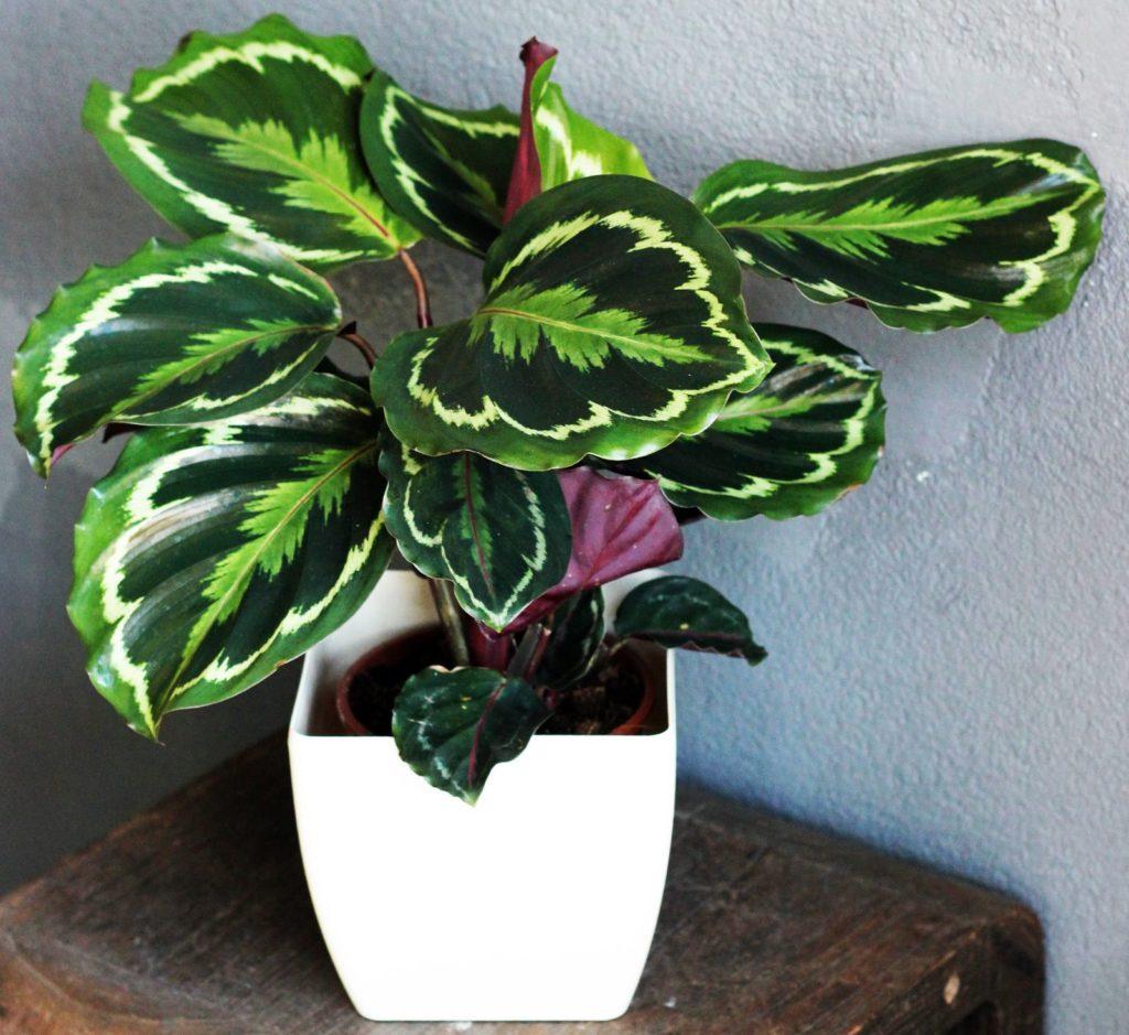 Beliebte Zimmerpflanzen Die Top 10 Für Zuhause Plantura