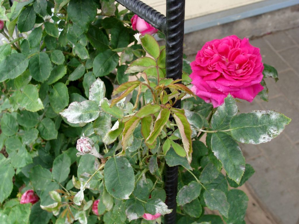Rose mit kranken Blättern
