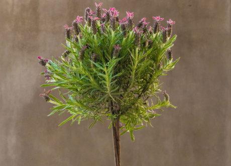 Lavendel Als Hochstamm