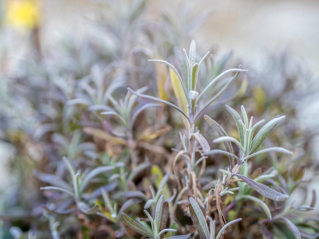 Lavendel im Garten im Winter