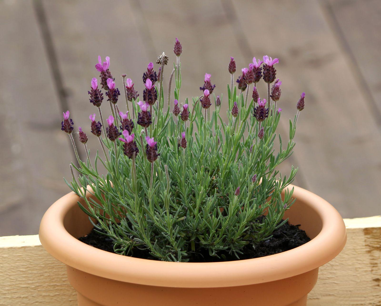 lavendel baum lavendel als b umchen f r beet topf. Black Bedroom Furniture Sets. Home Design Ideas
