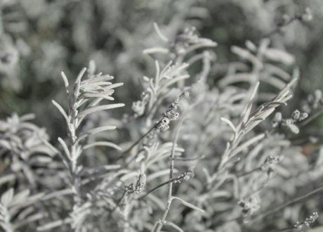 Lavendel Im Winter