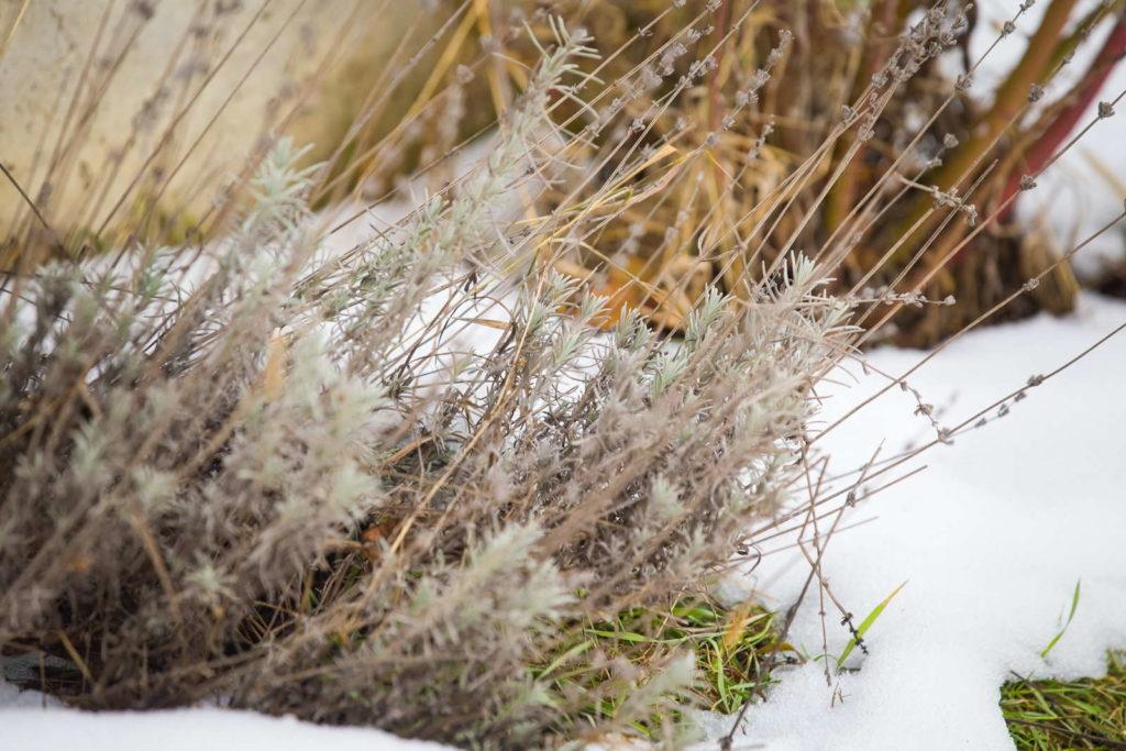 Lavendel im Winter mit Schnee bedeckt