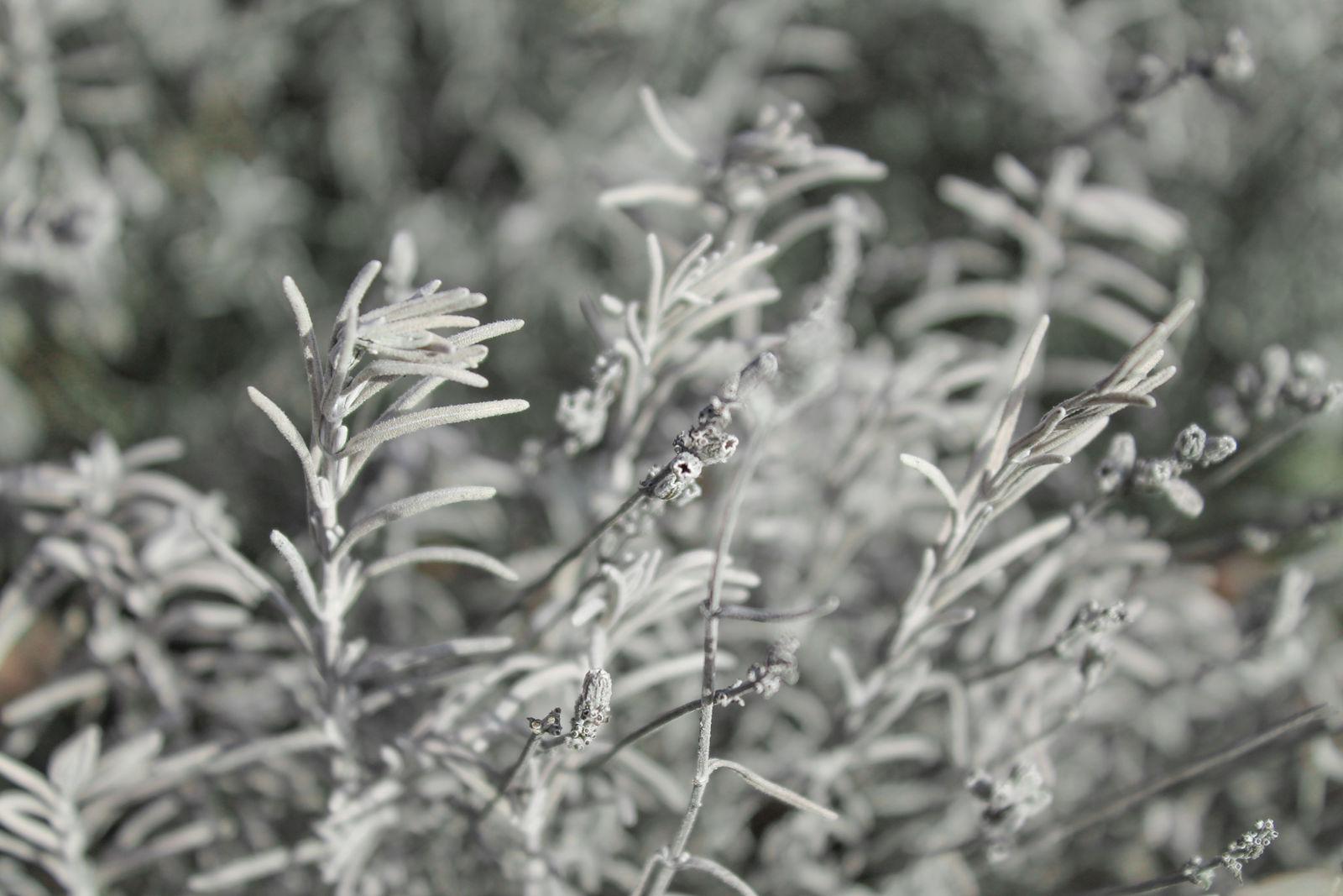Winterharte Lavendelsorten: Die 8 Besten Für Ihren Garten