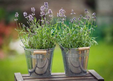 Lavendel In Zwei Silbernen Töpfen