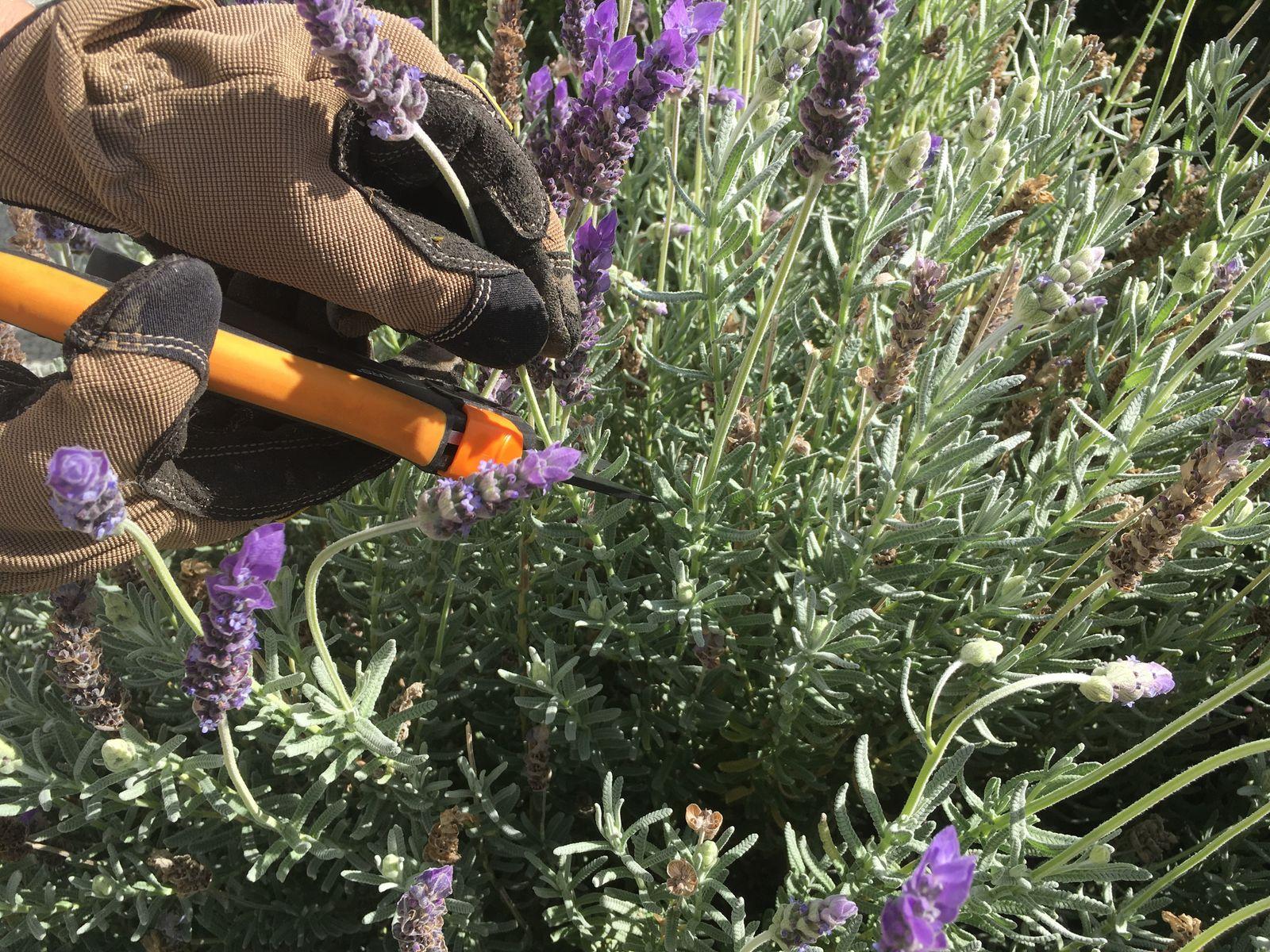 f6b3110039f4e8 Kranke Triebe des Lavendels sollten früh genug entfernt werden  Foto   Lafras  Shutterstock.com