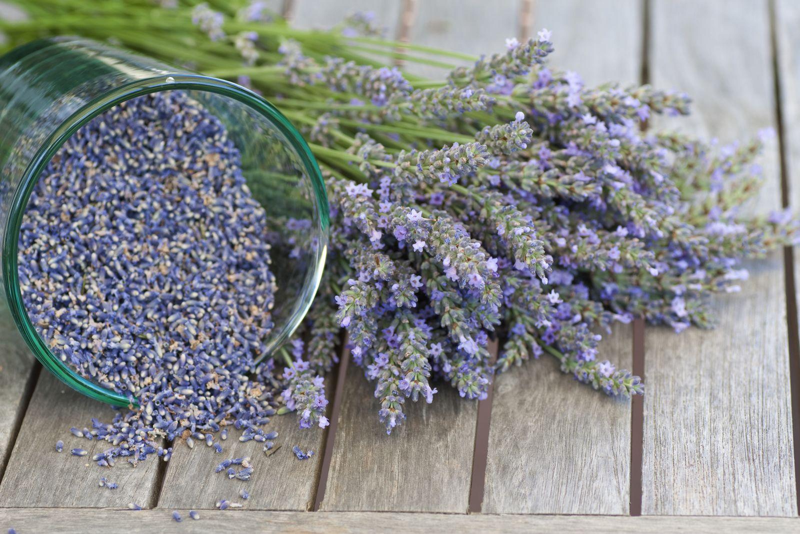 d7e86312ca9ec8 Der Lavendelanbau über Samen braucht Zeit  Foto  Gudrun Muenz   Shutterstock.com