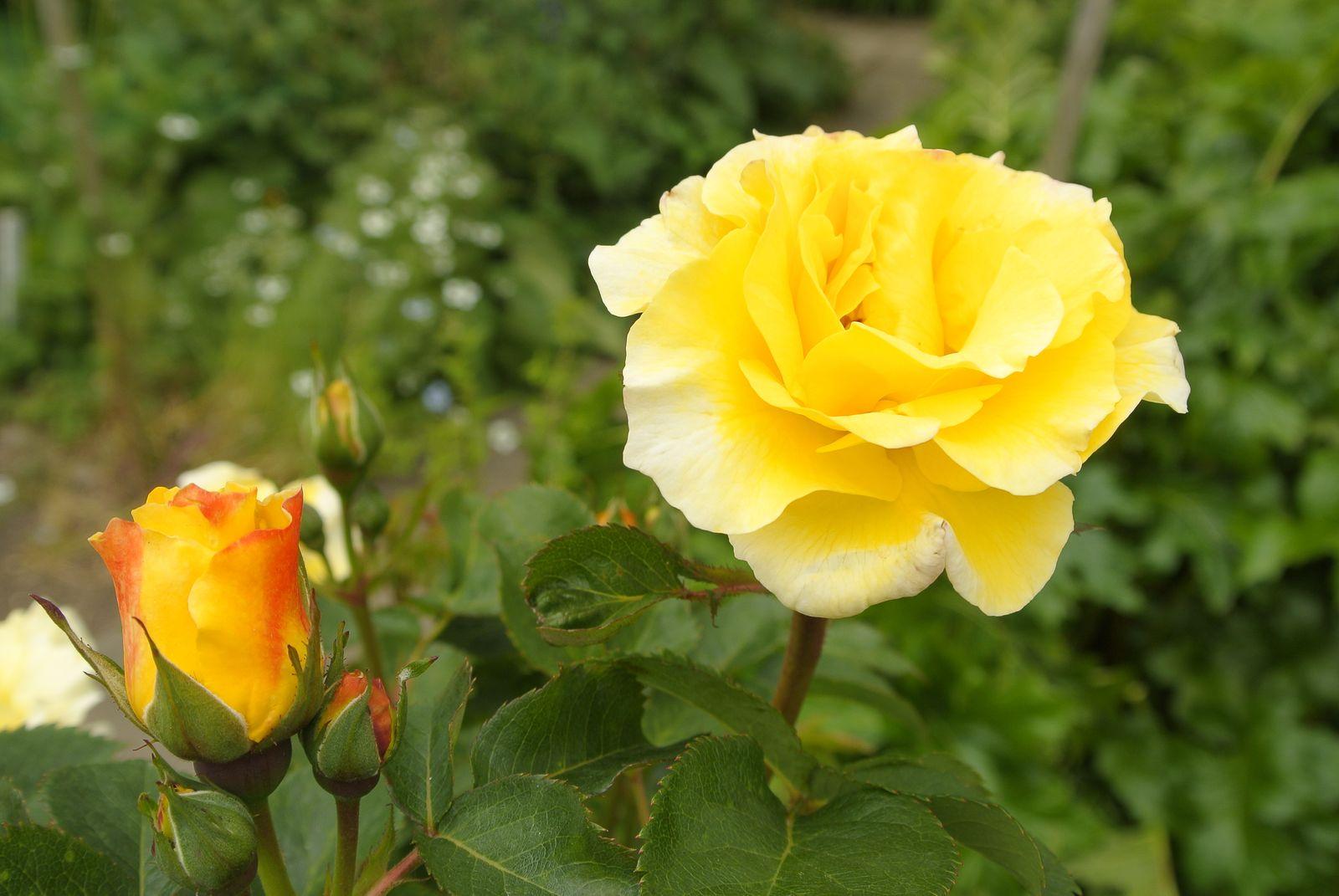 Berühmt Gelbe Rosen: Die 10 schönsten Sorten für Ihren Garten - Plantura @FD_36