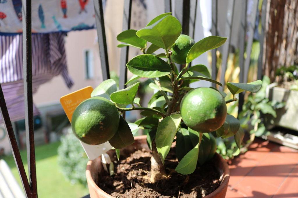 Limette im Topf im Garten