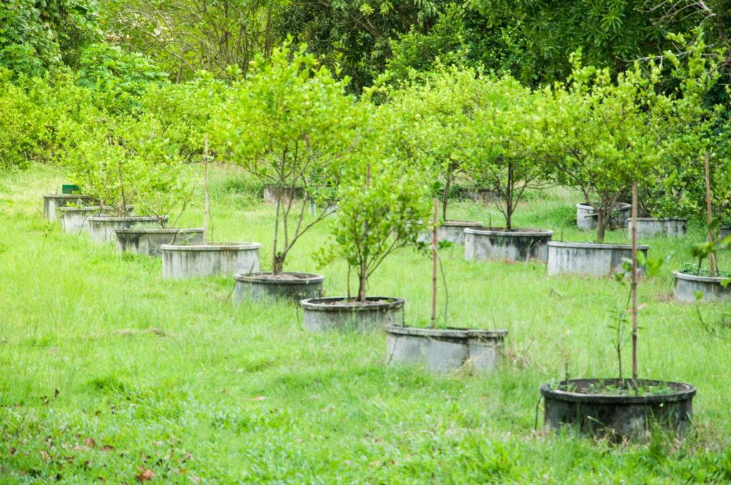 Limettenbäume im Freien