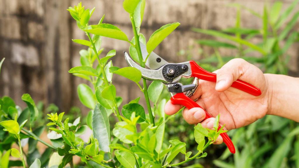 Limette wird mit einer Gartenschere geschnitten