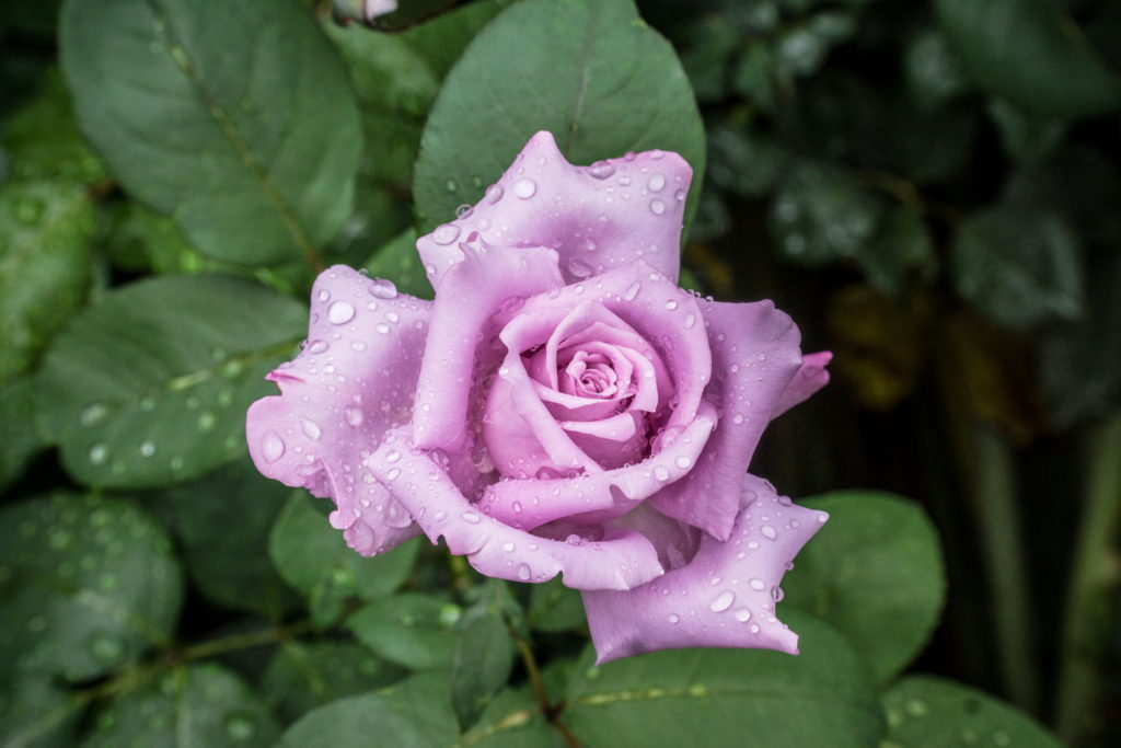 Rose Mainzer Fastnacht