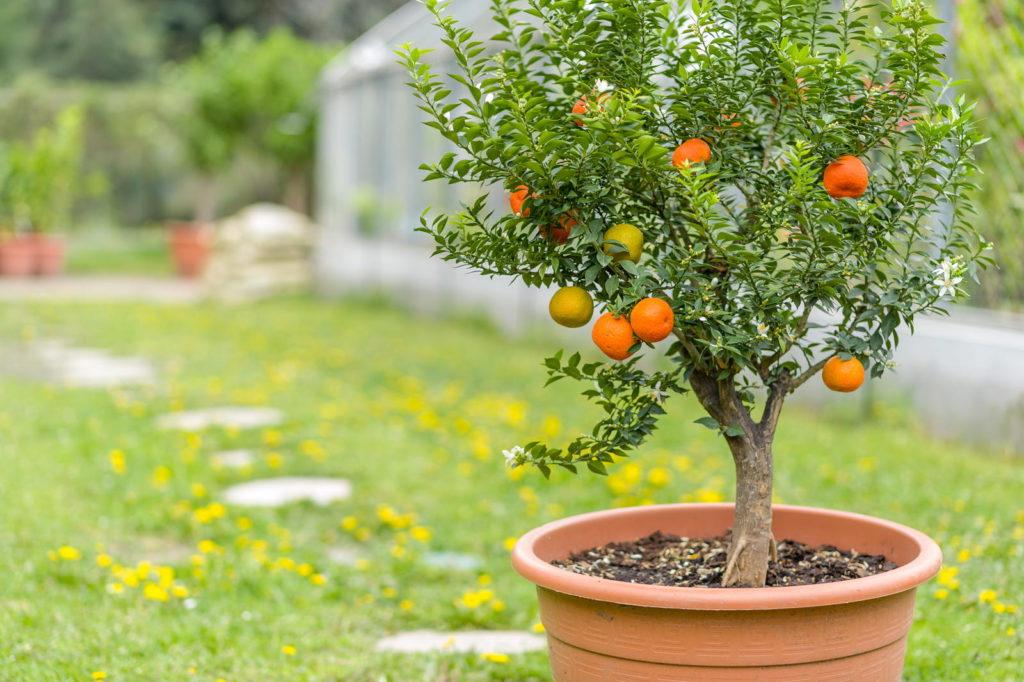 Manderinenbaum