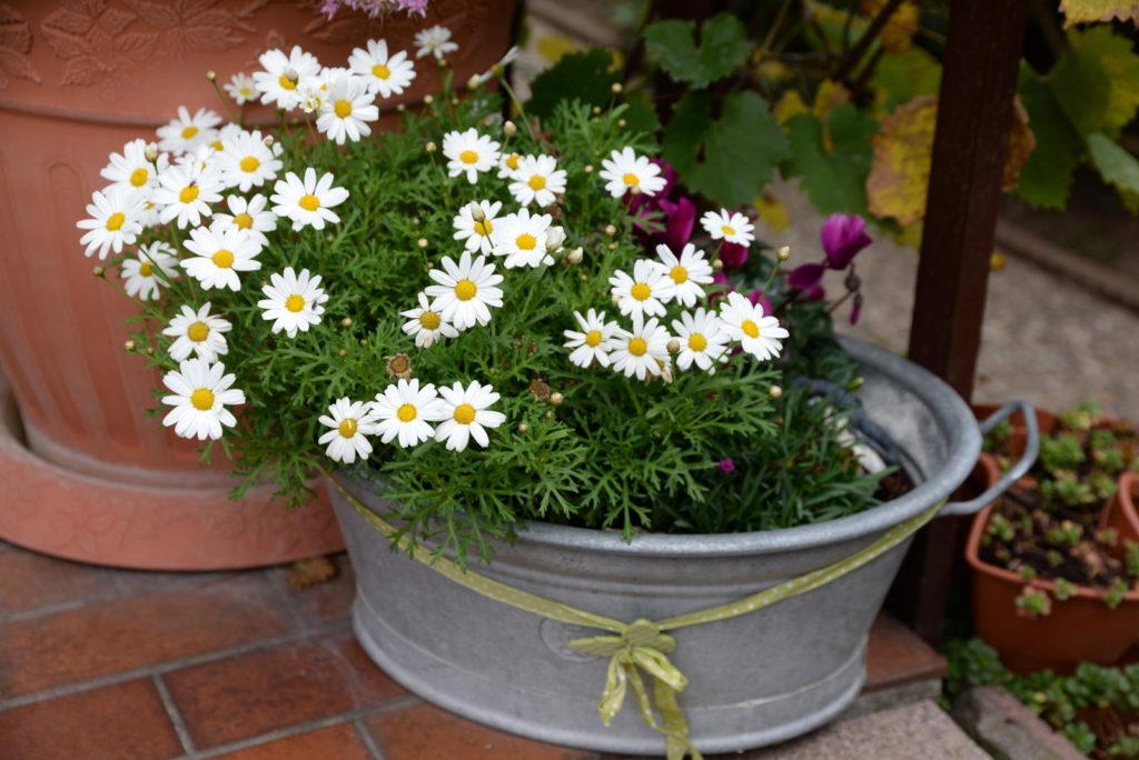 Margerite im Blumentopf