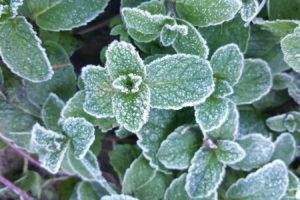 Mint Mit Frostschicht Im Garten