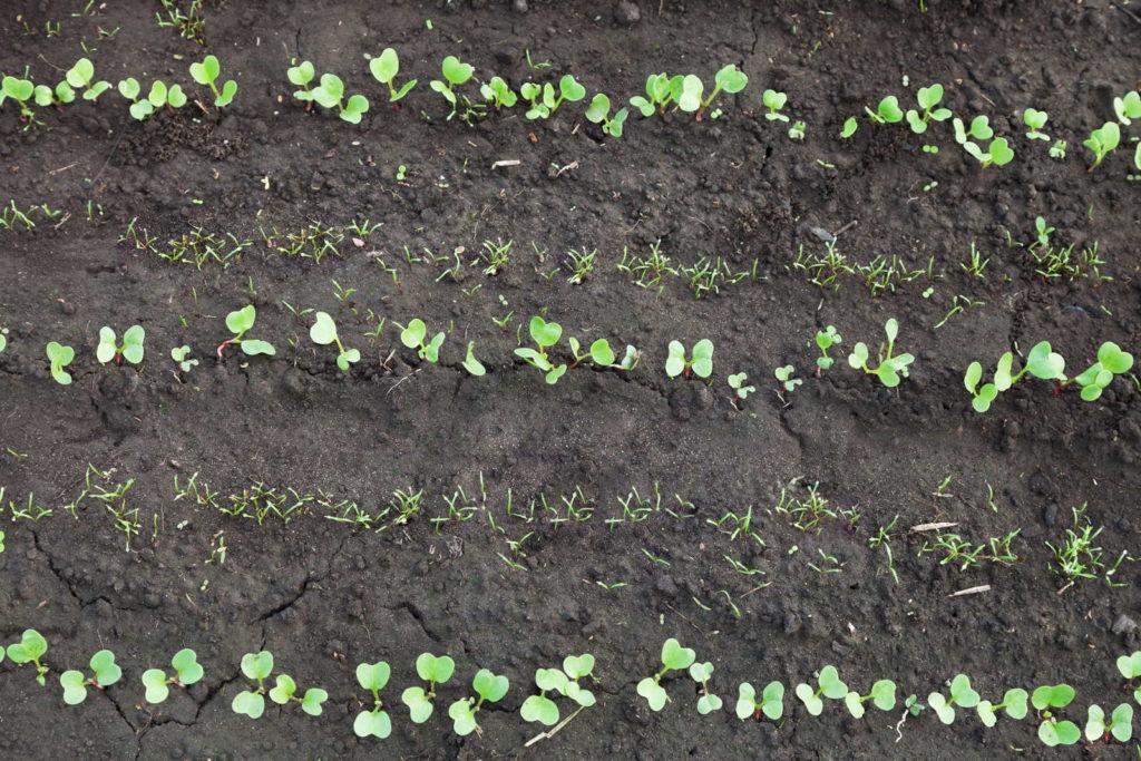 Mischkultur aus verschiedenen jungen Gemüsepflanzen