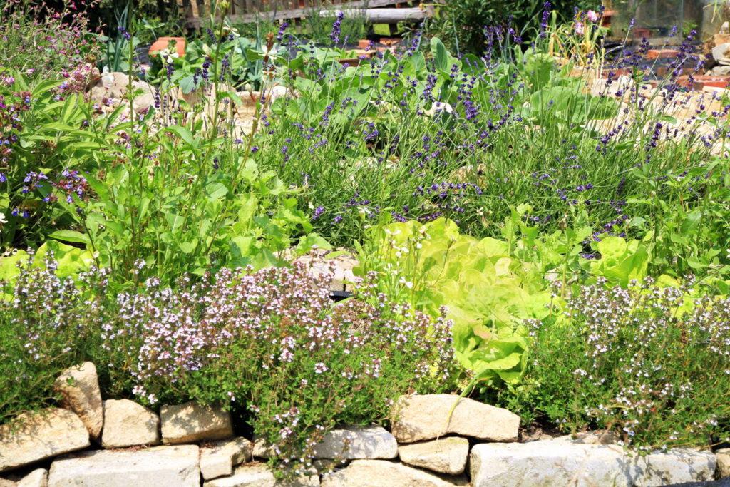 Mischkultur im Garten mit Kräutern