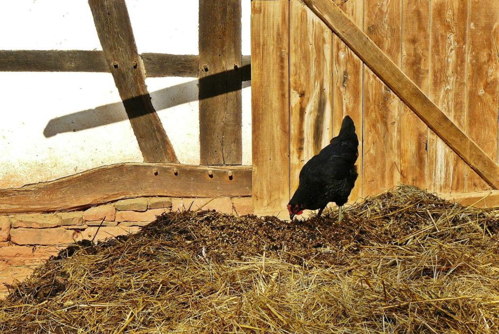 Misthaufen mit Huhn im Freien