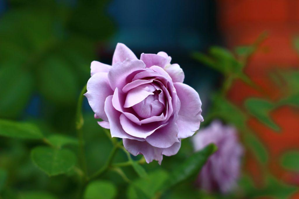 Rose Novalis