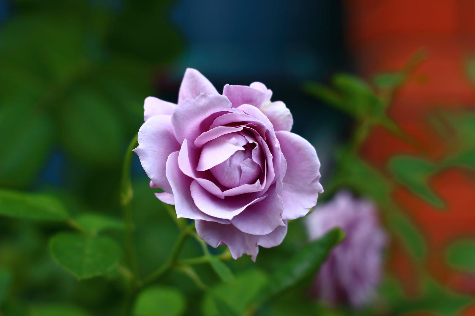 lila rosen die 5 sch nsten rosensorten von fliederfarben. Black Bedroom Furniture Sets. Home Design Ideas