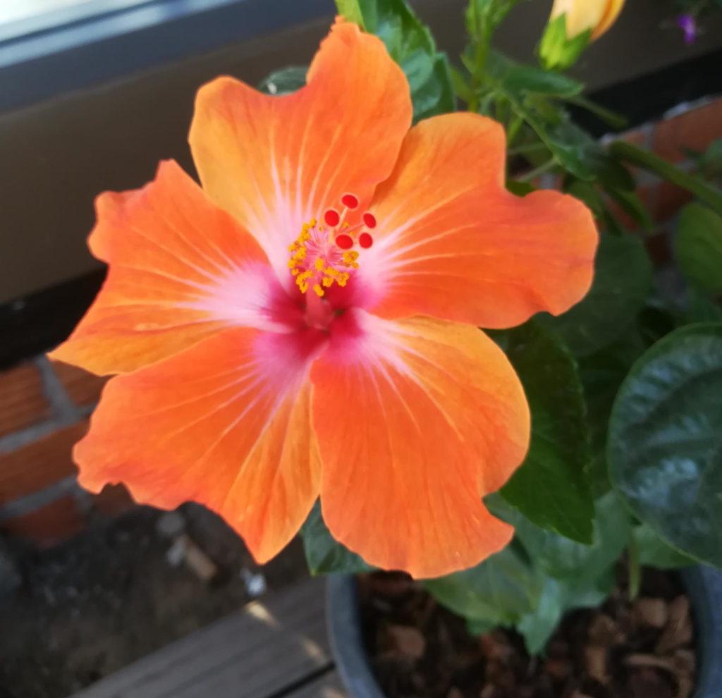 Hibiskus mit oragenen Blüten