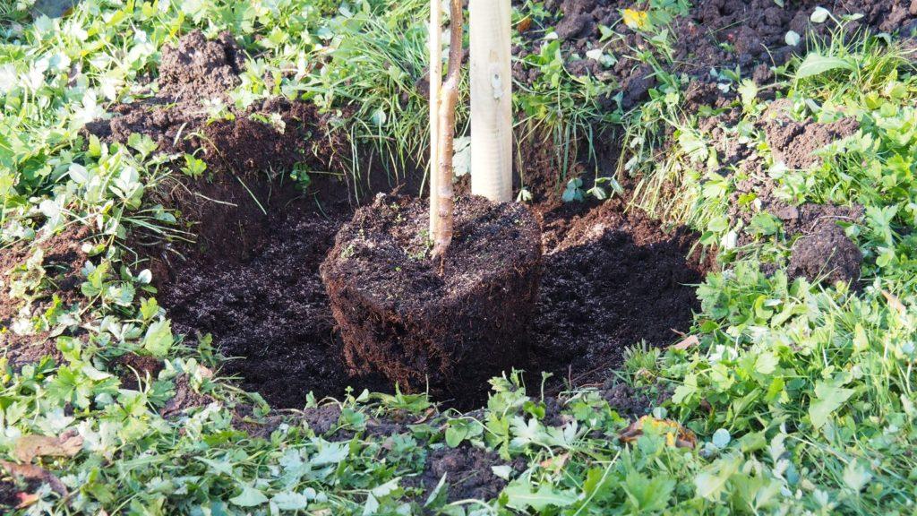 Pfirsichbaum im Pflanzloch gedüngt