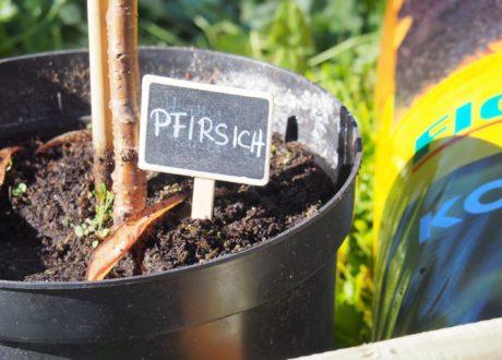 Pfirsichbaum Im Topf