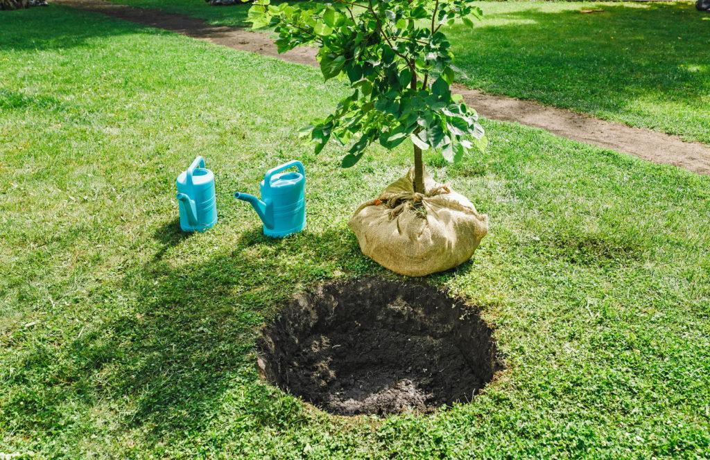 Pflaumenbaum vor dem Pflanzen im Garten