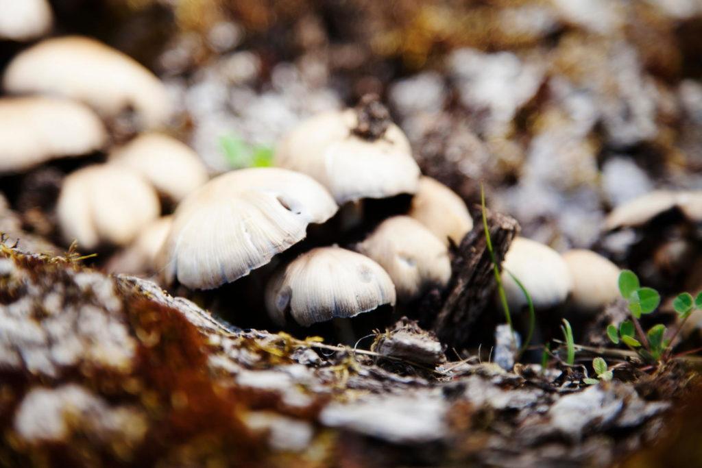 Pilze auf Kompost nah