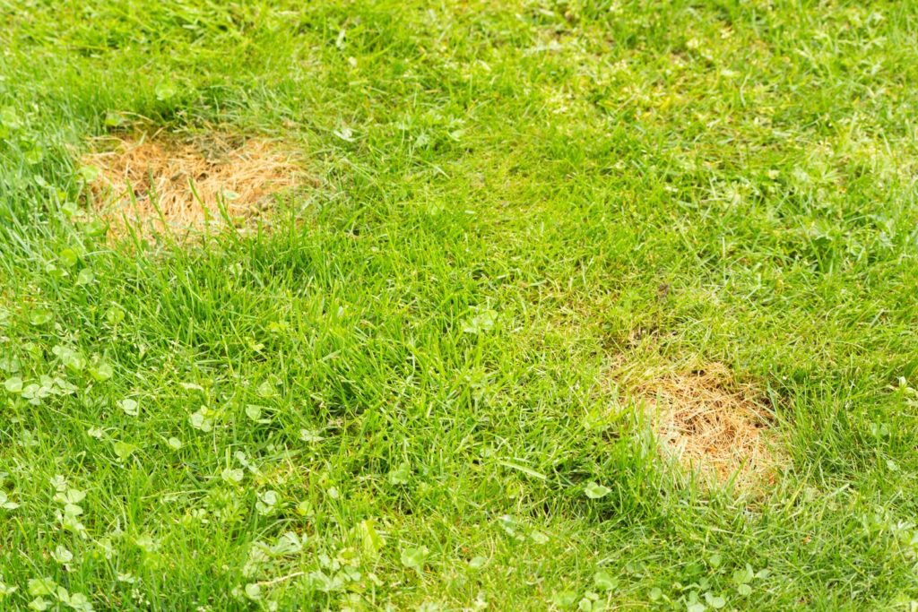 Rasen mit gelben Stellen