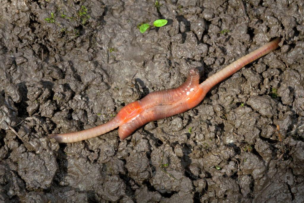 Regenwürmer bei der Paarung