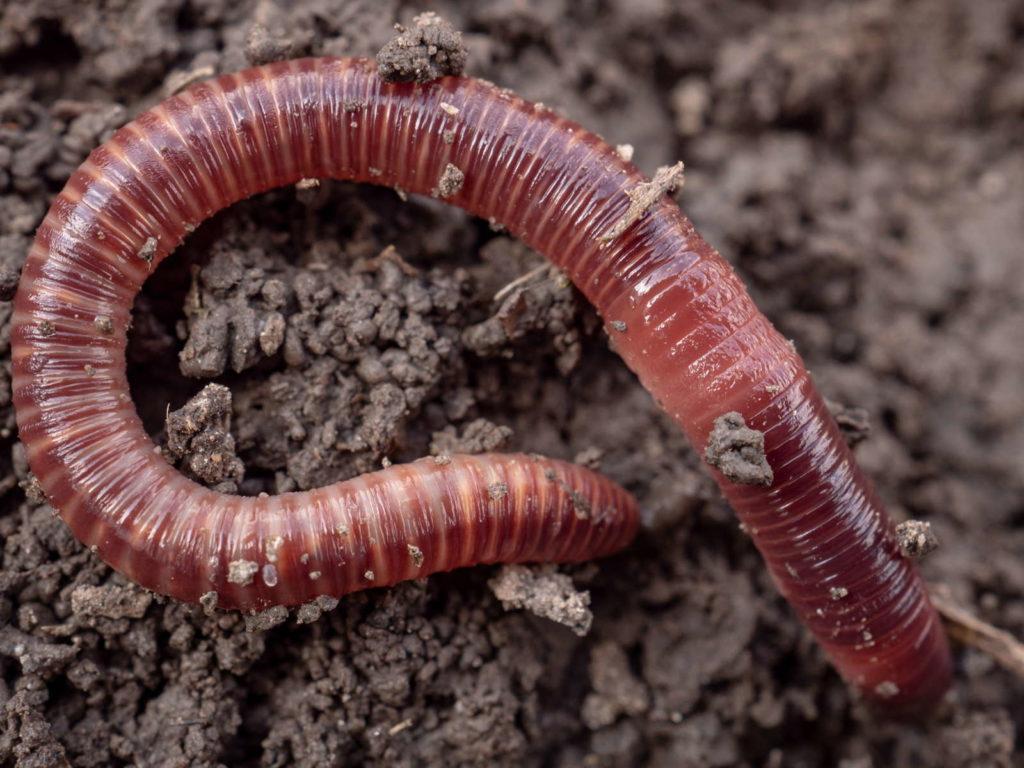 Kompostwurm mit Ringeln