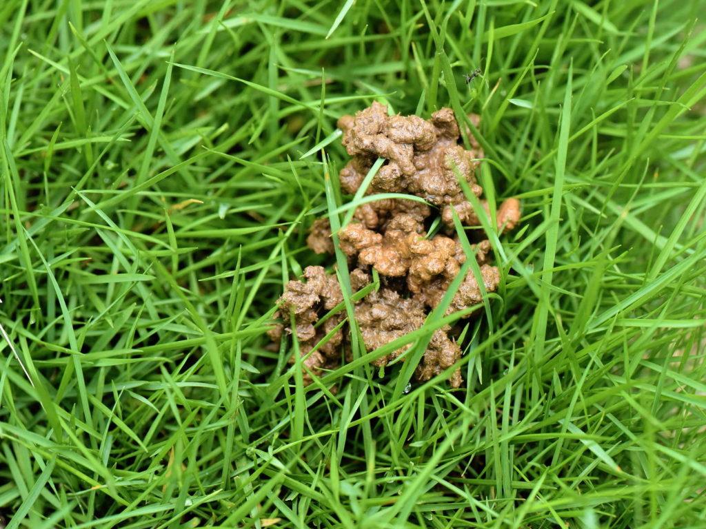 Ausscheidung eines Regenwurms auf einer grünen Wiese