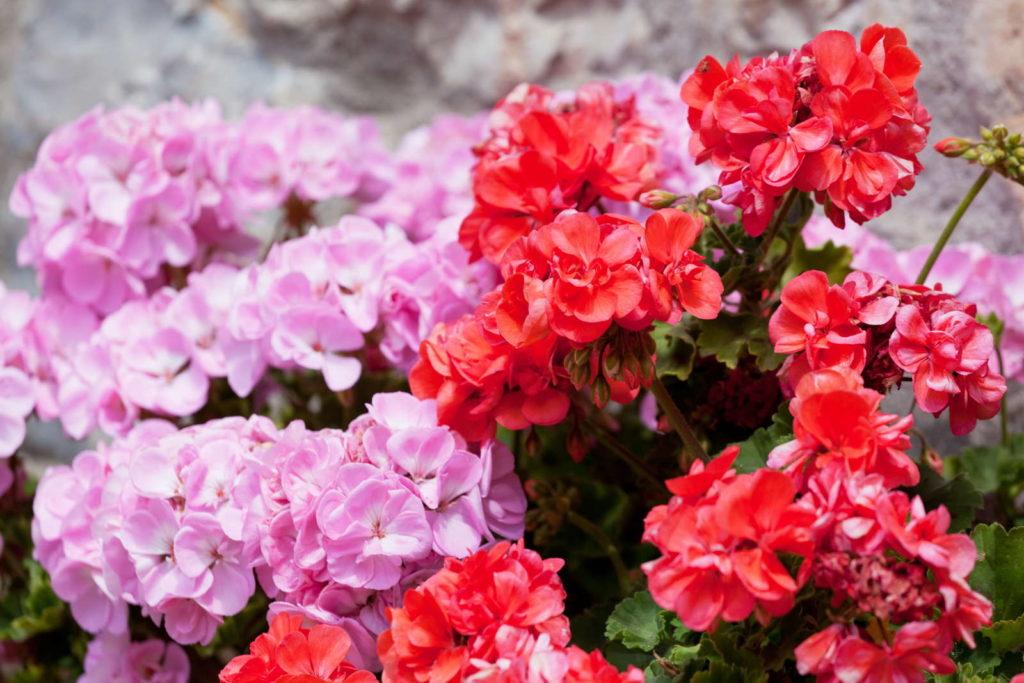 Rosa und rote Geranien