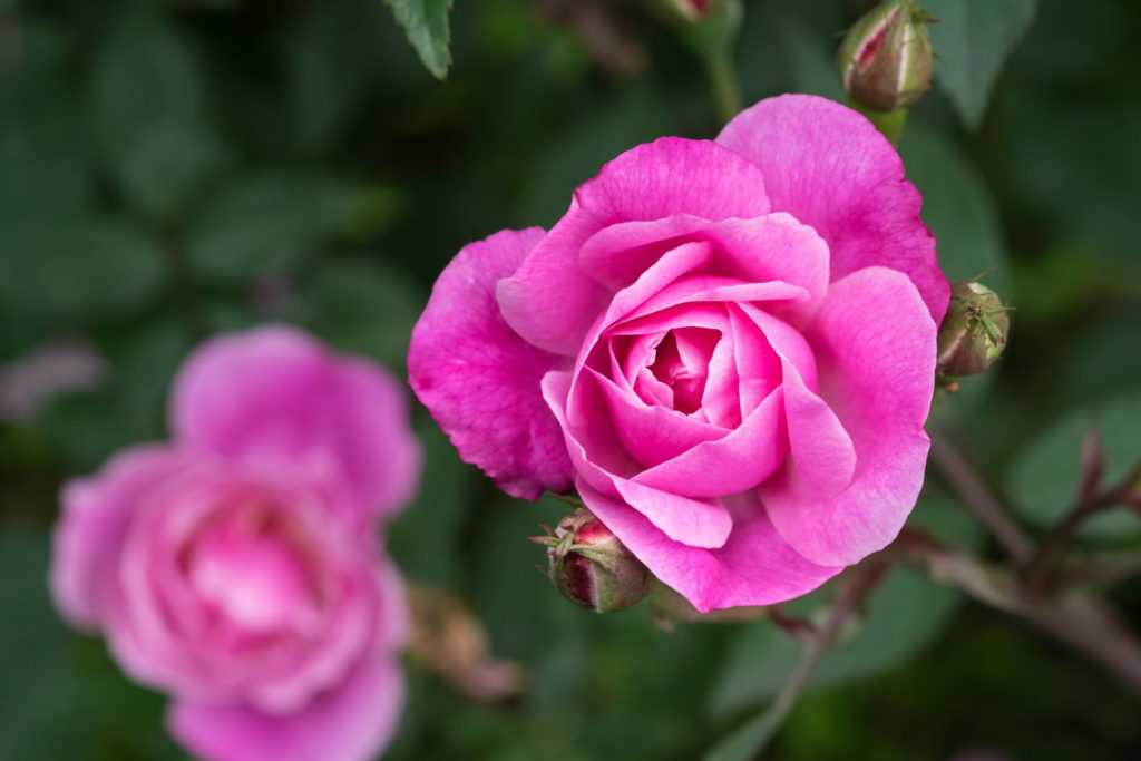 Rose 'Bella Rosa' in Pink
