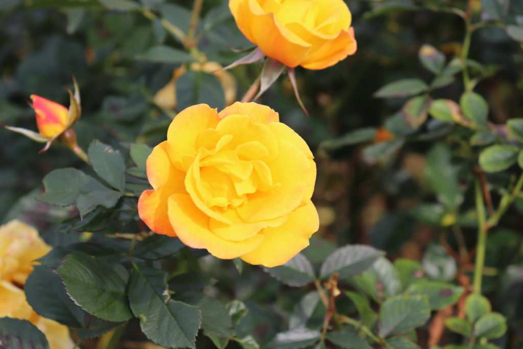 Rose 'Friesia' in Gelb