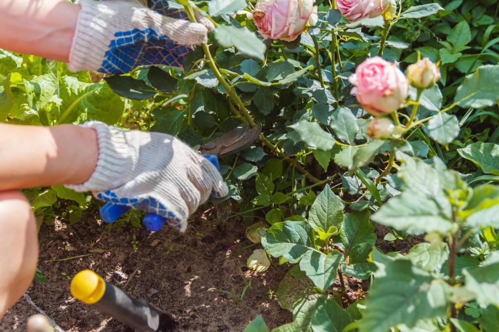 Rose im Beet wird geschnitten